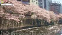 目黒川お花見クルーズ!両岸に800本の桜が咲き誇ります