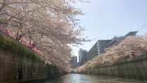約800本の桜が咲き誇る名所 目黒川での桜回廊クルーズツアー!満開日以降は花筏も楽しめます